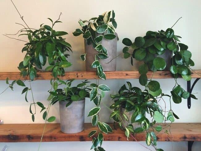 Tiny house plants - hoya wax plant cultivars