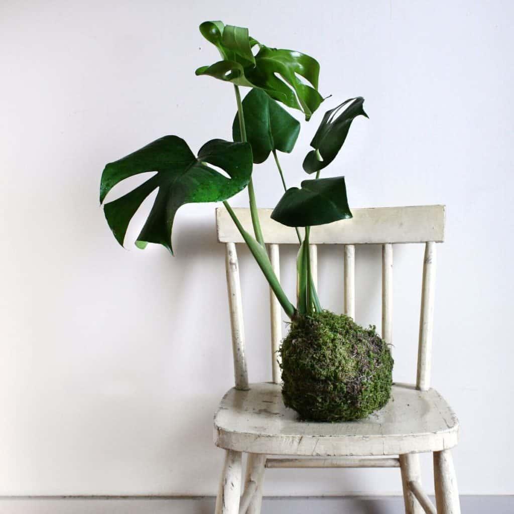 Tiny house plants - monsterakokedama